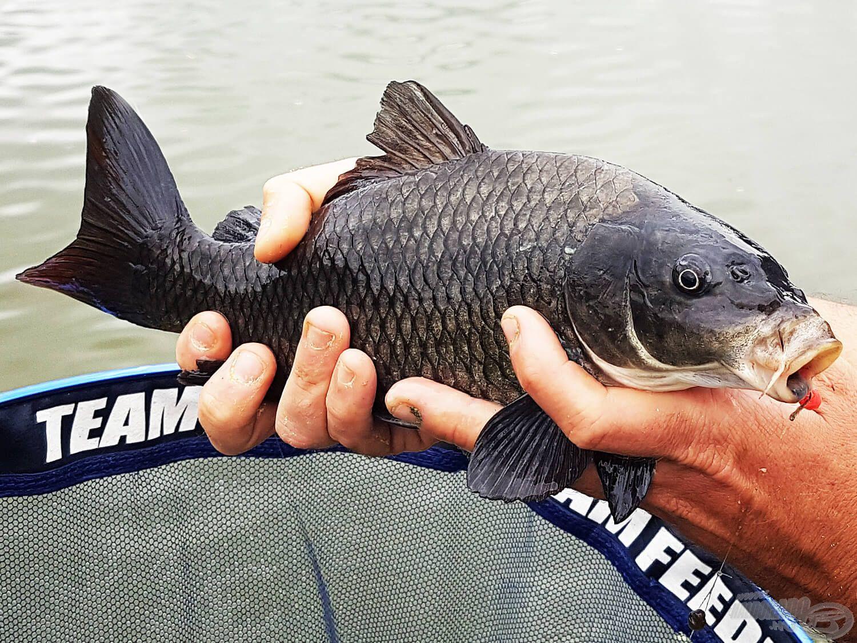 A közeli hely szinte megállás nélkül adta a halat, de olykor indokoltnak éreztem a tompább színű csalik használatát