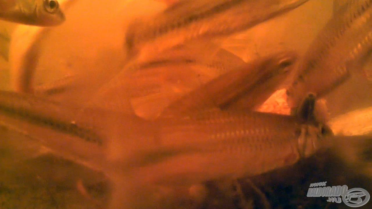 A Spéci termékek specialitása, hogy a mohó apróhalak támadásainak is ellenállnak