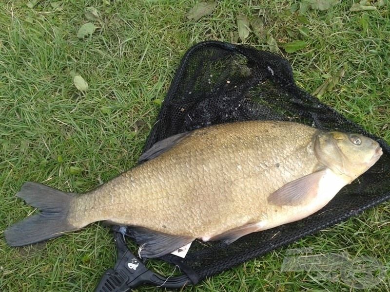 Látszik, hogy mekkora ez a hal, alig fér a merítőbe