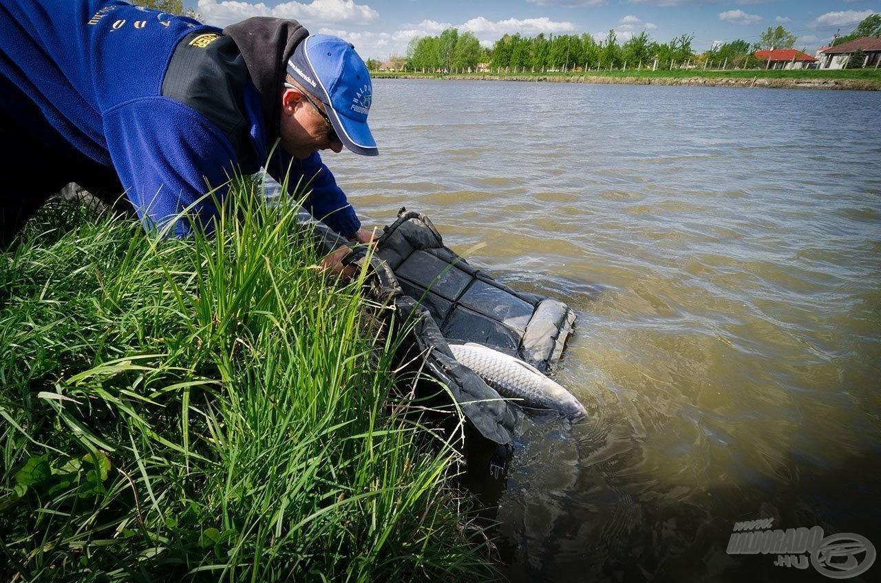 Miközben a magyar horgászok egyik nagy kedvence, amely megérdemli a kíméletes bánásmódot