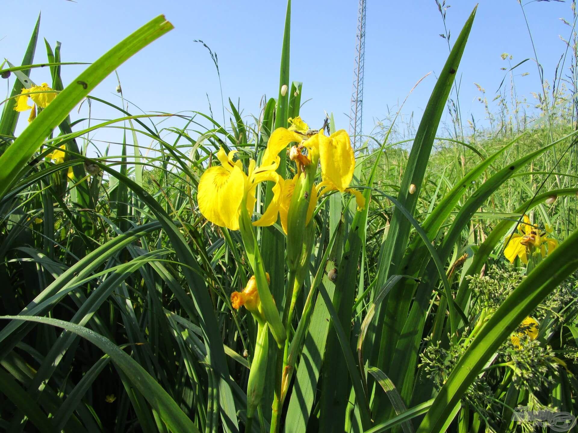 A mocsári nőszirom korábban nyílik, ha tavasszal jó idő van. Azt persze nem bántam, hogy ilyen szép, sárga virágok társaságában horgásztam!