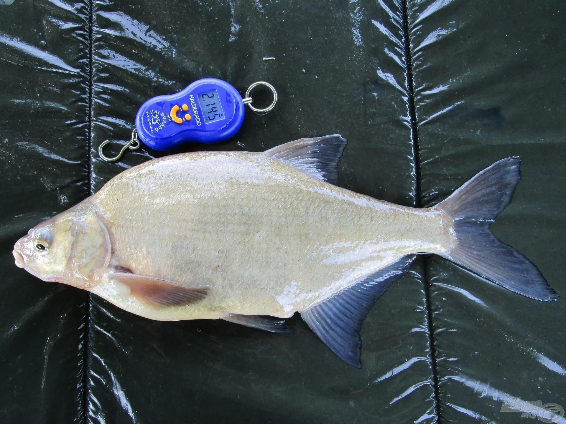 A vizes szákkal együtt több, mint 2 kg-ot nyomott, tehát ez a példány sem lehetett kevesebb, mint 1,7 kg!