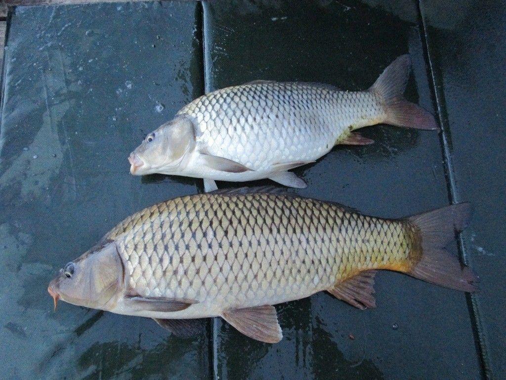 Nagyon szépek és egészségesek Lentiben a halak. A felső ponty láthatóan táplálkozott az etetésen: lucerna vagy tökmag pelletet ürített a matracra