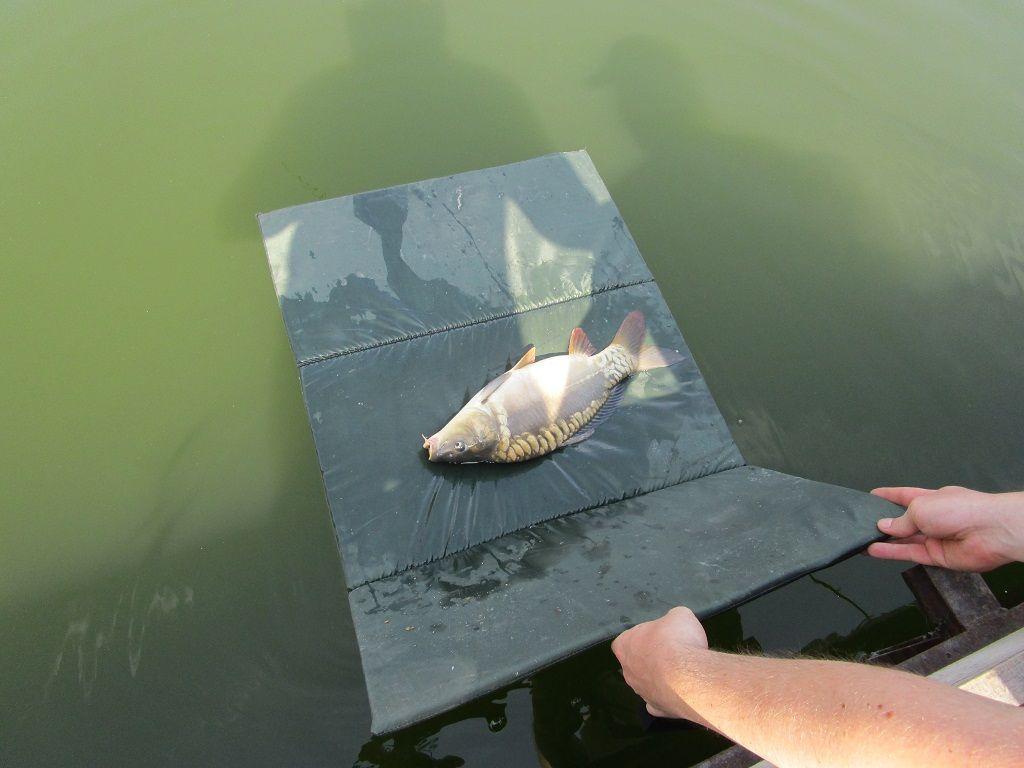 Fényképezés után kíméletesen visszaengedtük a halakat
