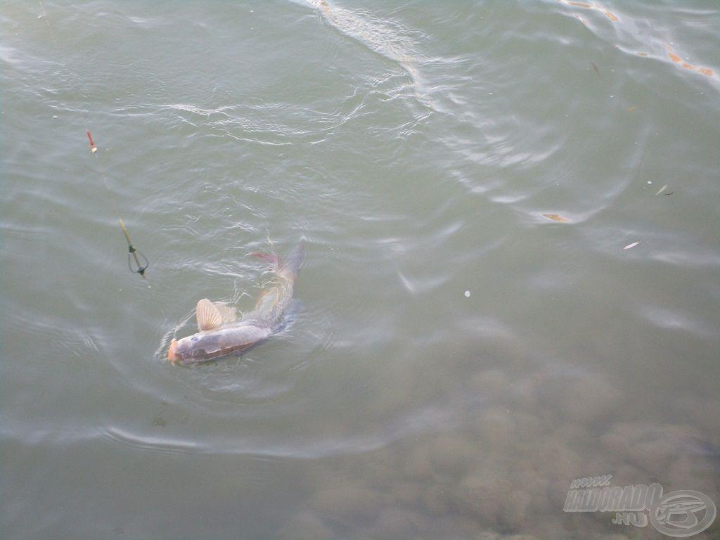 … szorgalmasan fárasztotta a halakat