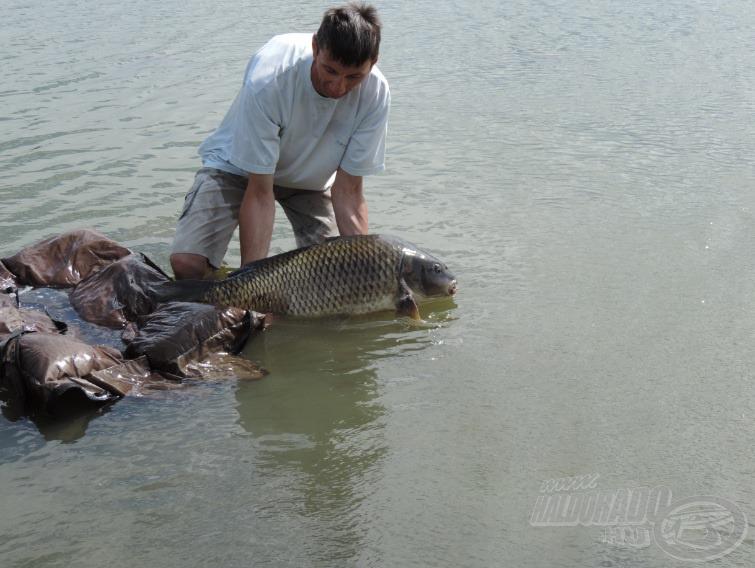 A fotók és szájfertőtlenítés után gyorsan, kíméletesen visszaengedte a tóba ezt a nagy harcost