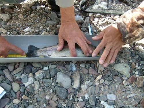 30 cm fölötti szivárványos pisztráng a mérő vályúban