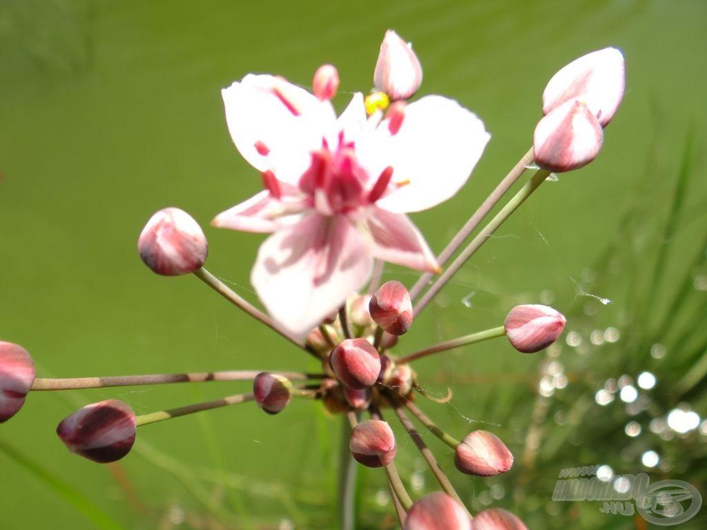 … rózsaszín