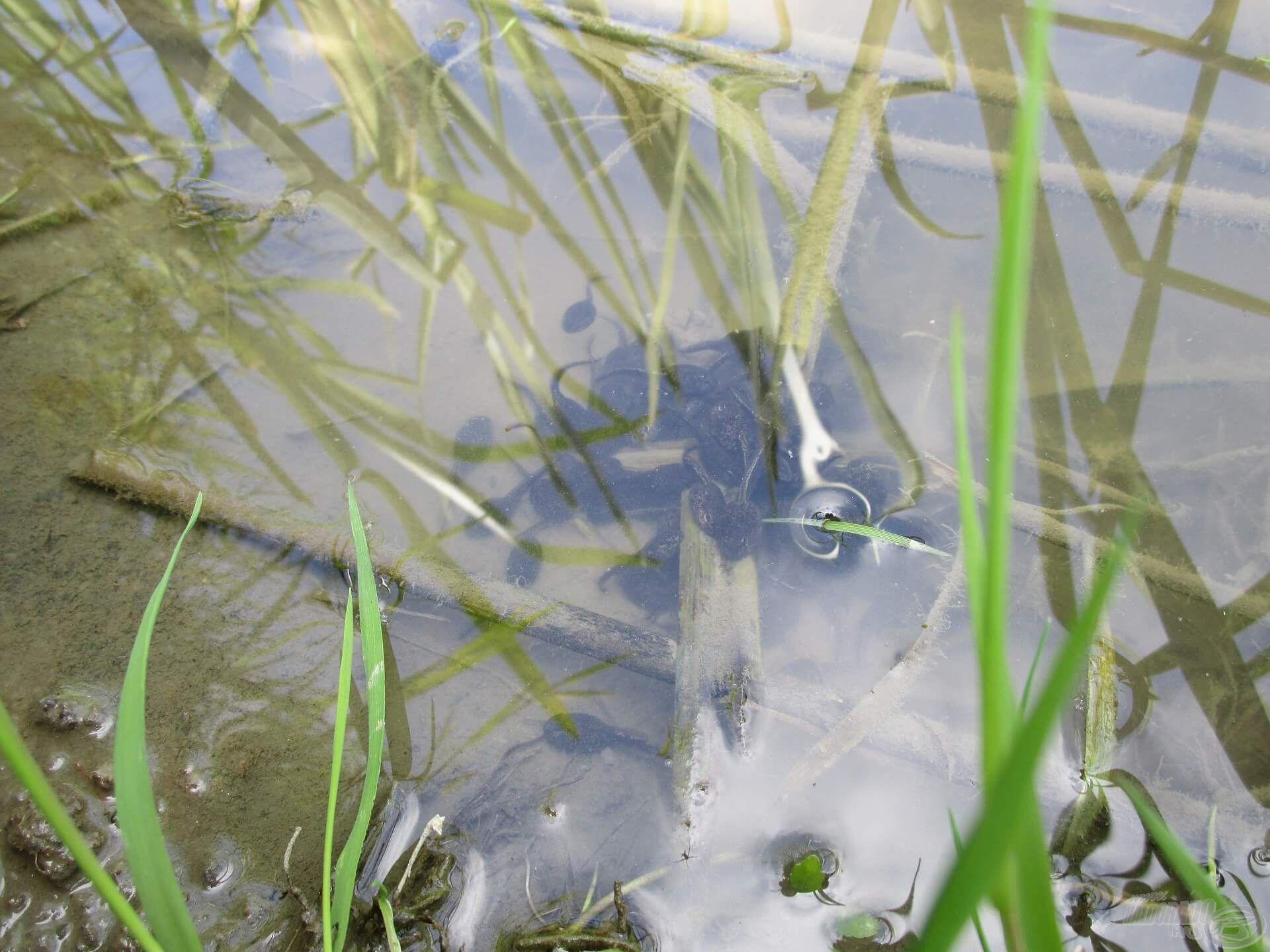 Az ebihalak fiatal korukban még csoportosan úszkálnak, így nagyobb esélyük van a túlélésre