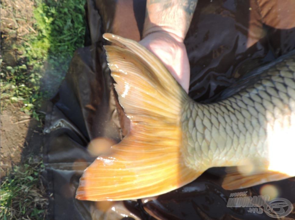 Mekkora lehet az a hal, aminek ekkora farokúszója van?