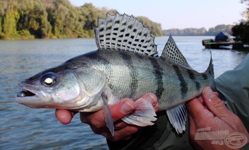 Szépségdíjas hal