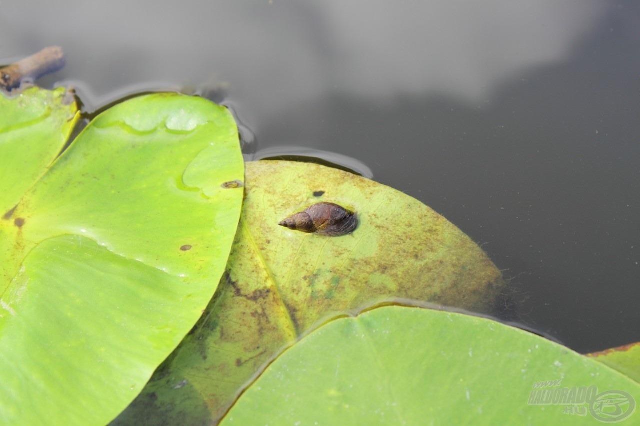 Rengeteg természetes táplálék található a tóban, ami tovább nehezíti az eredményes horgászatot