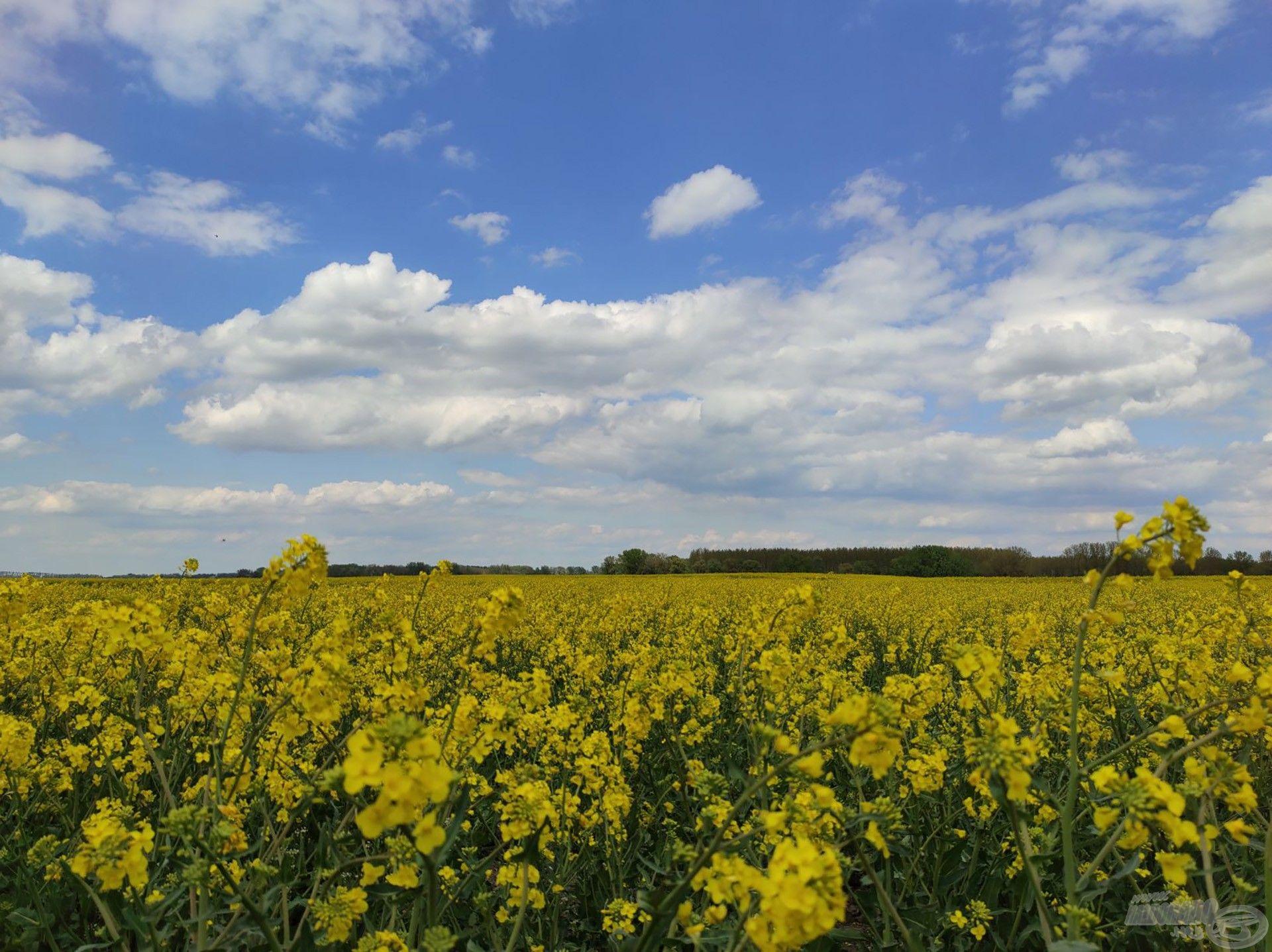 Vakítóan kéklő ég és sárgán virító repcemező