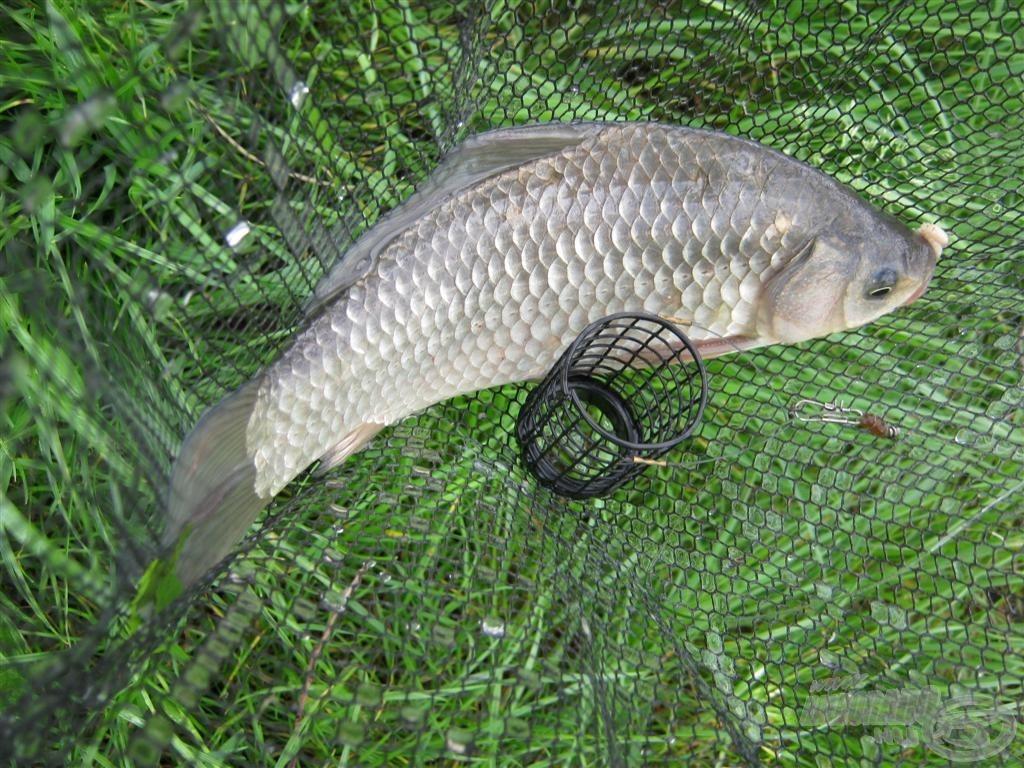 A lazán töltött etetőanyag a hosszú előkével kombinálva az aljzatra érkezés után vagy rögtön halat adott, vagy a zsinórfeszítés után érkezett meg a kapás. A mozgó csali nagyon tetszett nekik