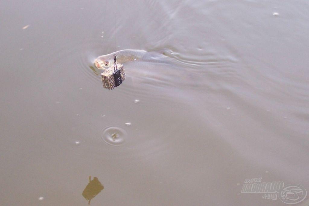 A bodorka behódol a Nevis Espirit 4000-nek :o) Valljuk be, az orsónak ehhez nem sok köze volt, hisz talán ha negyed kilós lehetett a hal