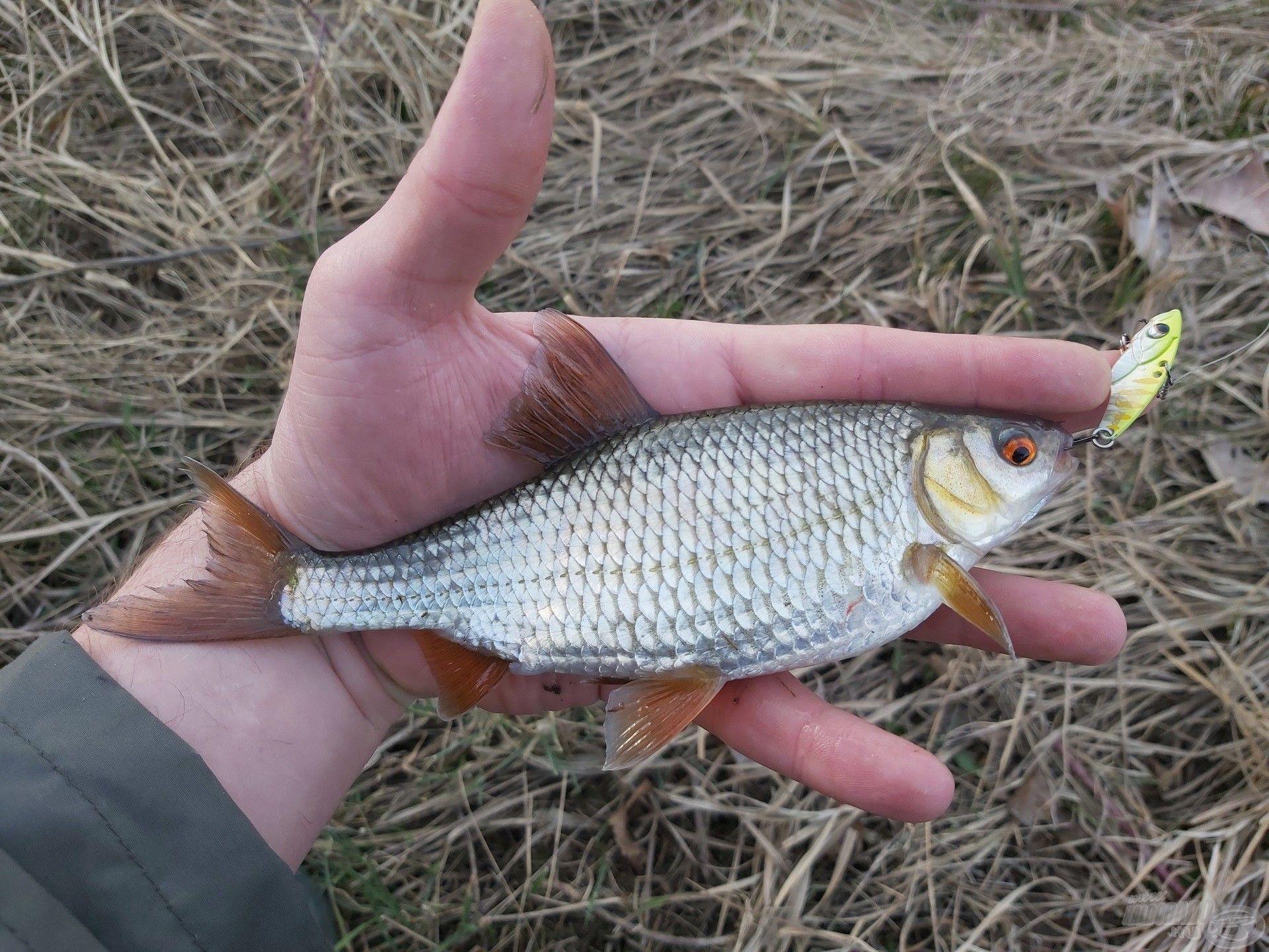 … ezekkel könnyen becsaphatók e halak is