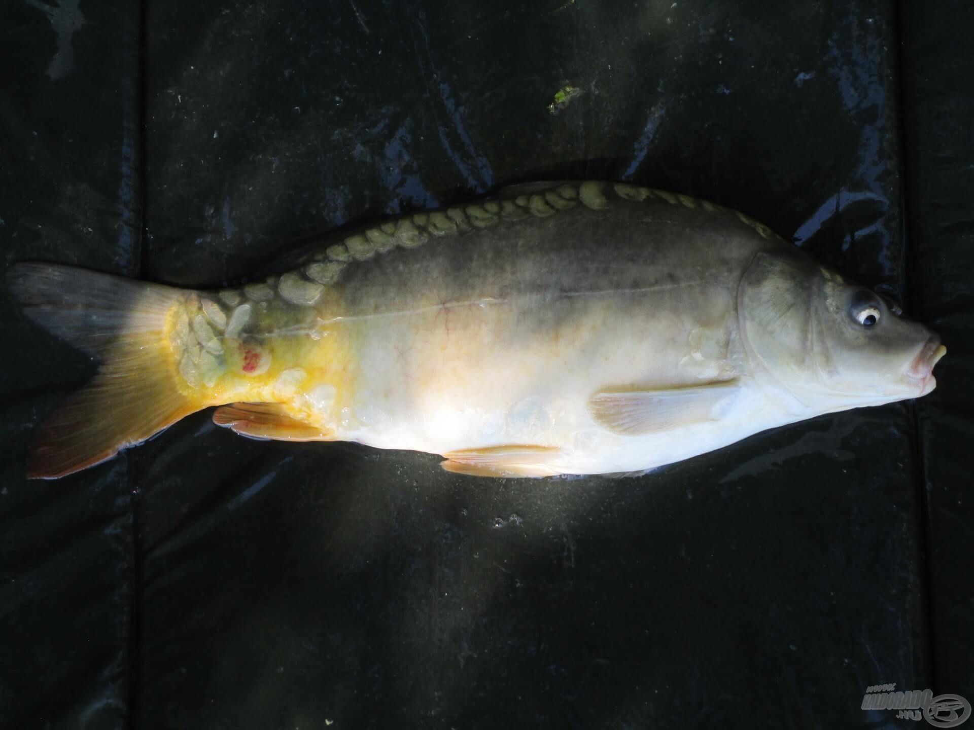Balázs etetését gyorsan megtalálták a halak, megszólalt az egyik kapásjelző, majd pár perc múlva a matracon pihent az első potyka