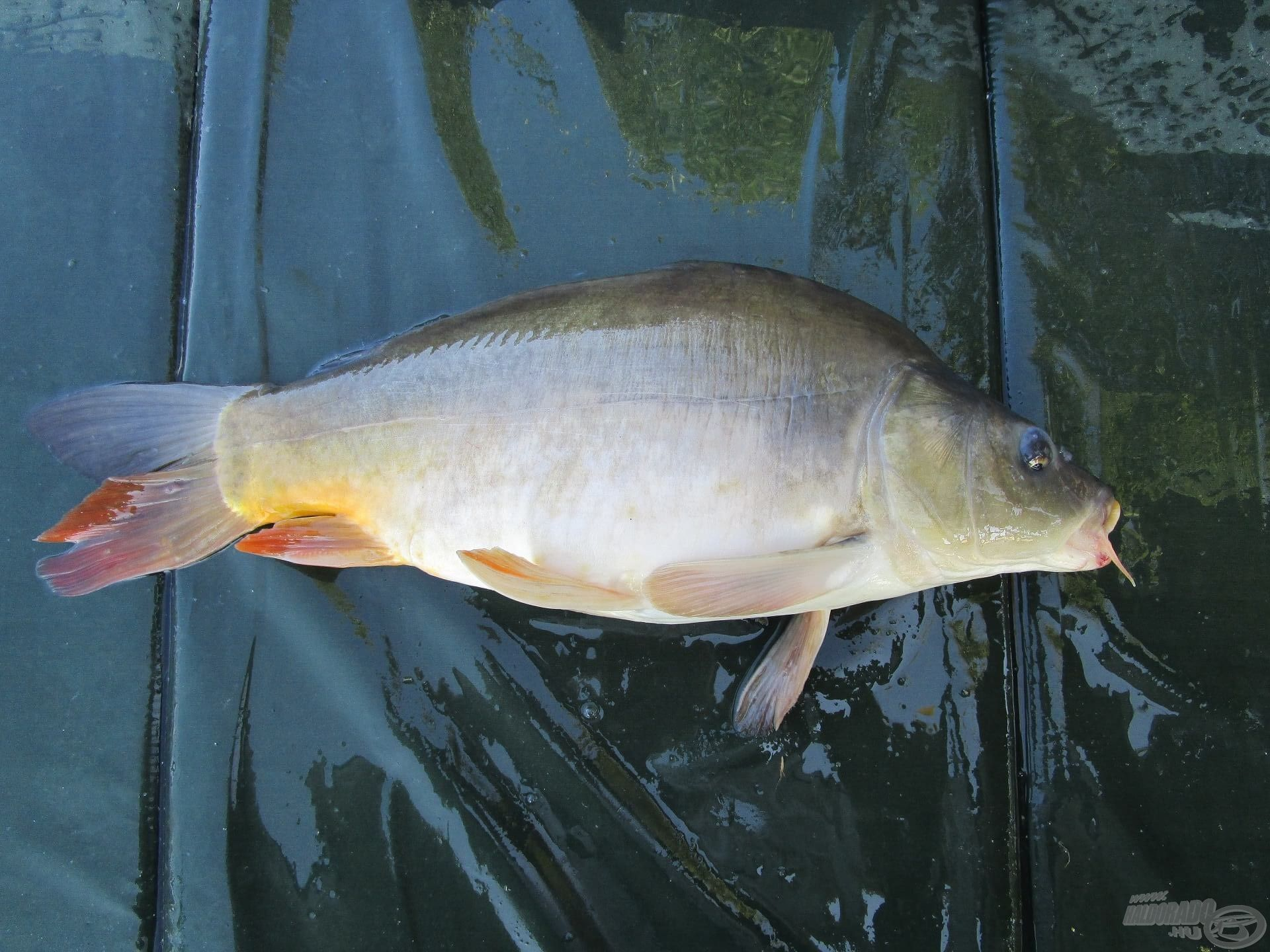 Nem sokkal később csipogott az egyik kapásjelző, és Balázs már fárasztotta is a halat. Egy szép bőrpontyot fogott