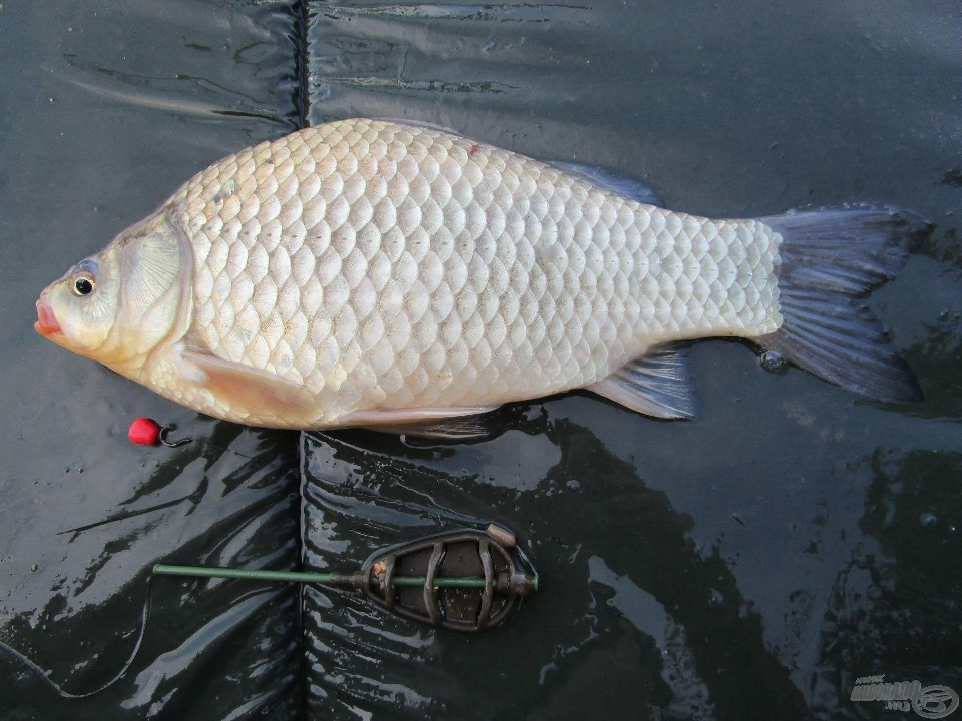 A nap utolsó hala. A tóban nagyon szép kárászok élnek
