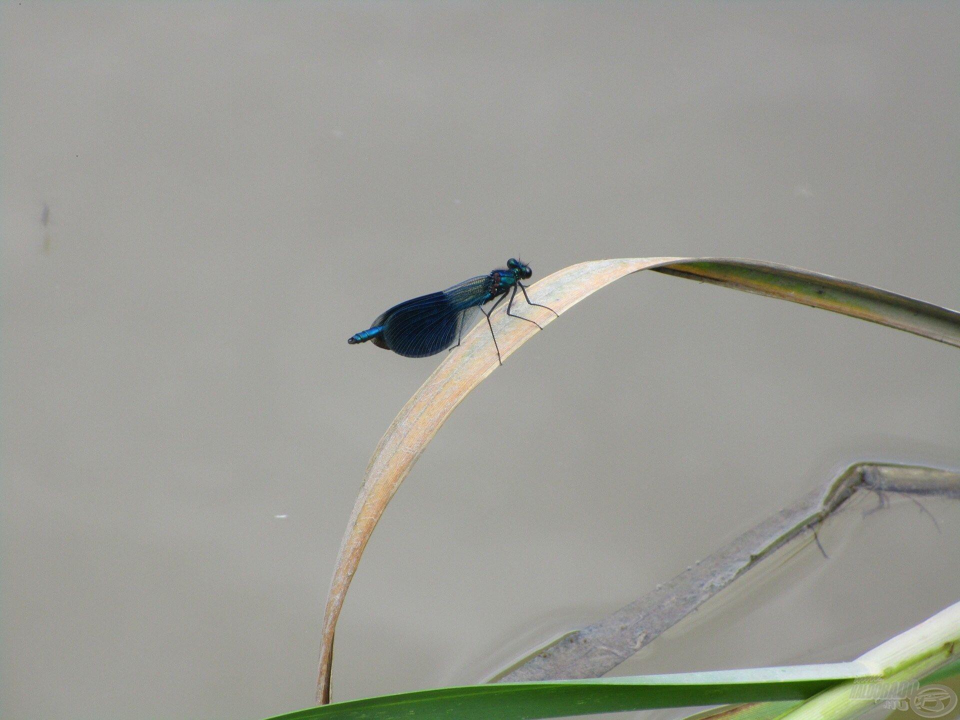 A hím sávos szitakötő a szárnyán lévő, nagy kék foltokról ismerhető fel