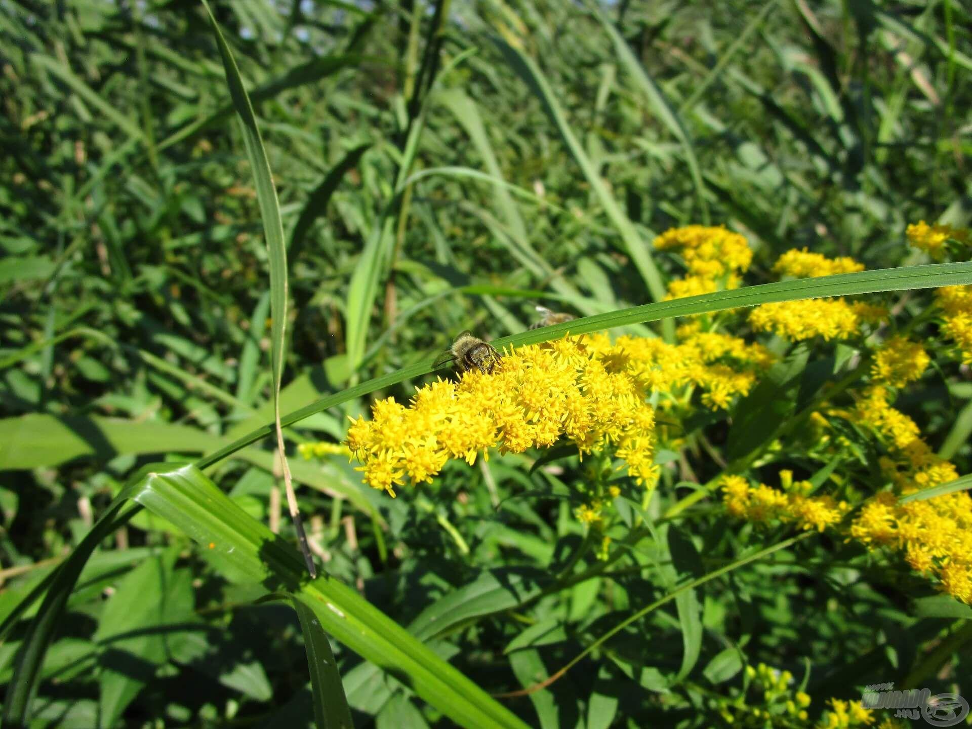 Ez a sárga virágú növény nem más, mint a magas aranyvessző. Idegenhonos faj, viszont jó mézelő