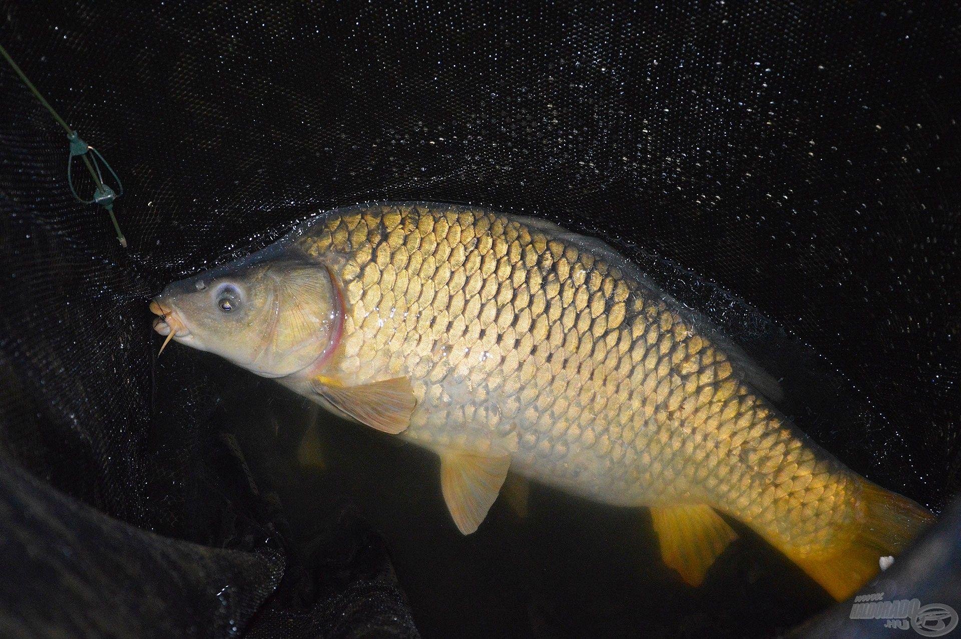 Merítőben az első hal, egy szép, termetes tőponty!