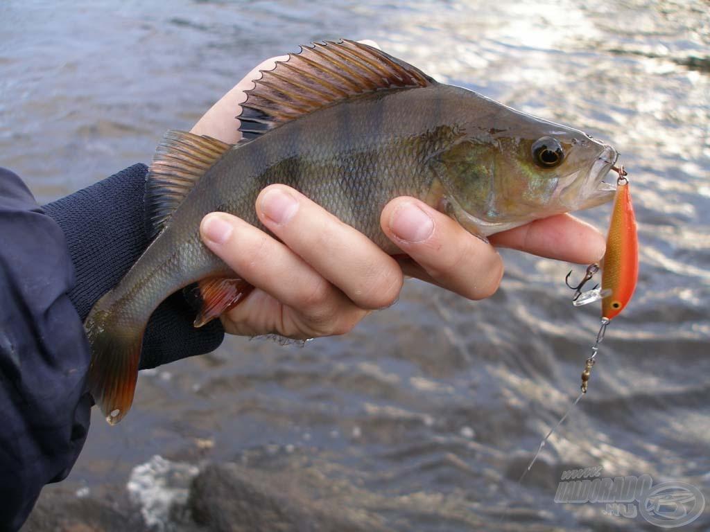 Pergető bottal Finnországban I. rész: Sügérek a sekély vízben