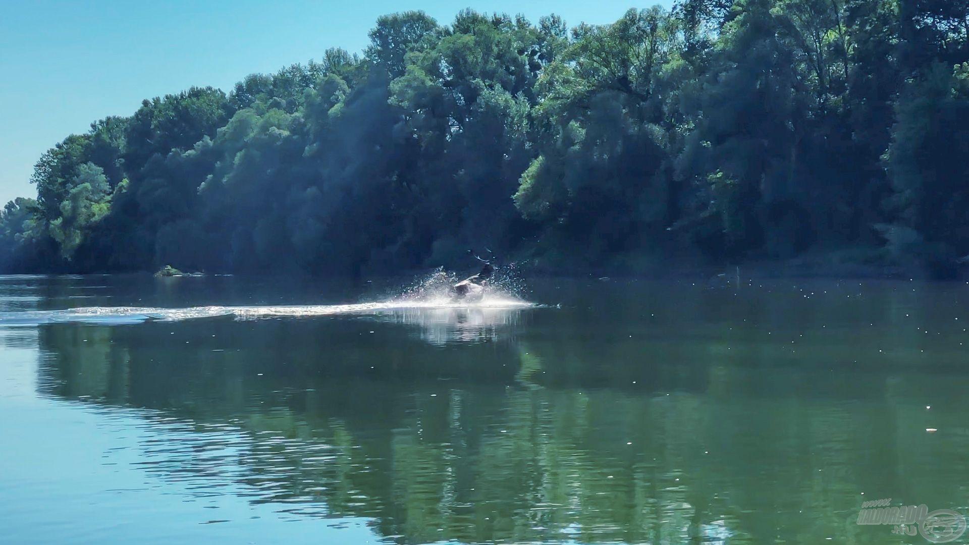 Nem igazán mély a folyó, ha egy szarvas jószágból ennyi kilátszik a meder közepén, vagy vízilabdás családból származik