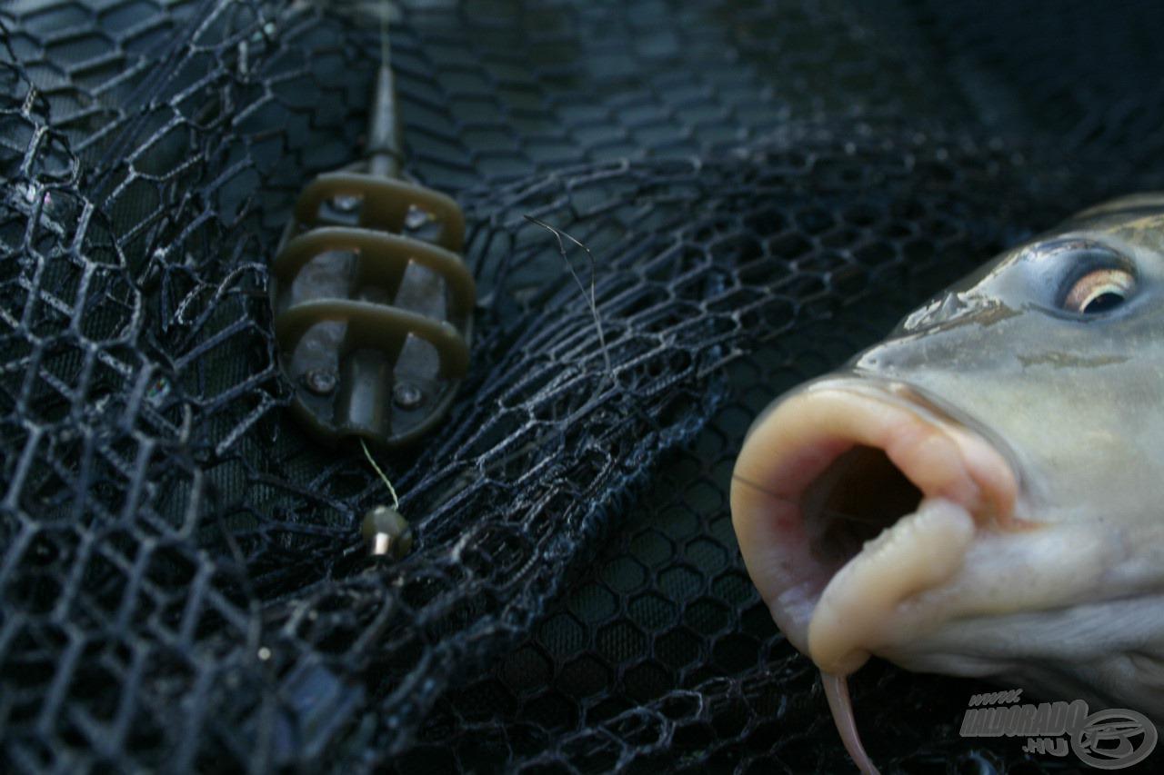 Jól látható az egyszerű szerelék és az is, hogy egy kicsit benyelte a horgot a hal