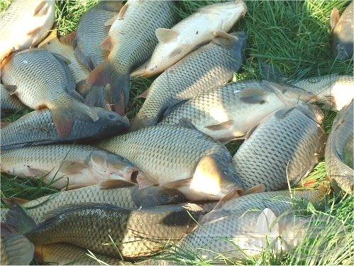 Nagyon sok horgász kedvenc halai