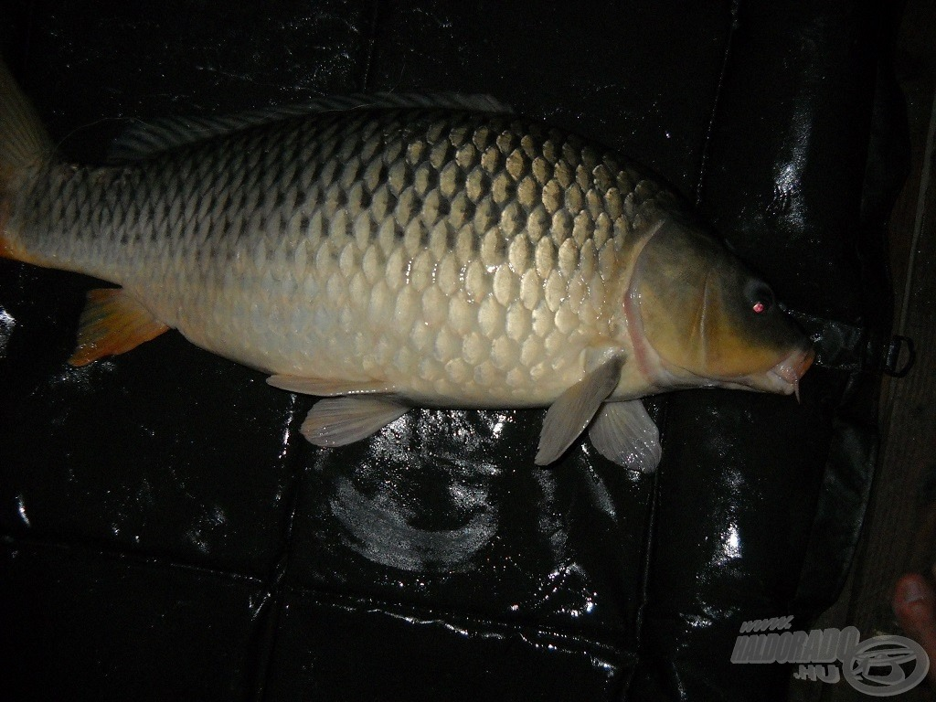8 kg-os tőponty