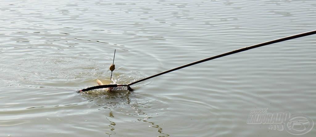 Még az etetőanyagnak sem volt ideje kioldódni, olyan gyorsan jelentkeztek az első halak a bedobást követően