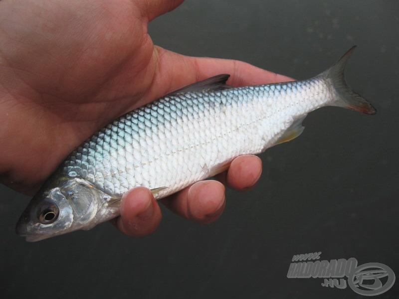 A második fiatal koncér tett pontot a szerény fogást adó, de örömteli kora tavaszi horgászat végére