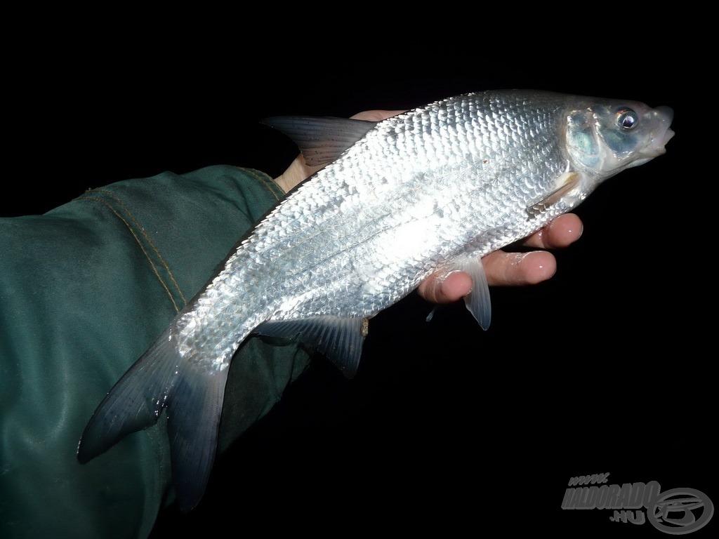 A testesebb halak (mint például ez az Éva) viszont a későbbiekben is ragaszkodtak a mélyebb részek nyugodtabb körülményeihez, ráadásul lényegesen gyakrabban jelentkeztek a teljes sötétség oltalmában