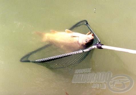 A machbotos horgászat első áldozata ez a 1,5 kg-os tükörponty lett