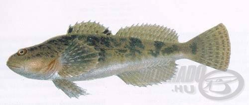 Cifra kölönte (Cottus poecilopus)