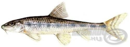 Halványfoltú küllő (Gobio albipinnatus = Romanogobio albipinnatus)