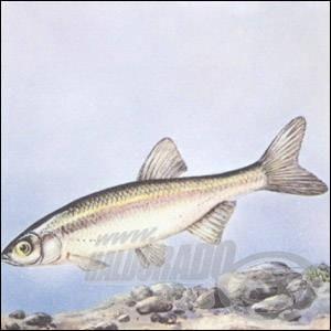 Vaskos csabak (Leuciscus souffia)