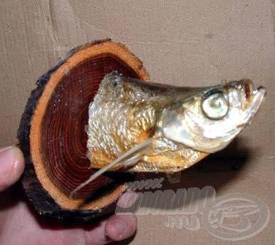 """A """"lágy"""" halakból is lehet trófeát készíteni. Ez egy dunai garda, volt…"""