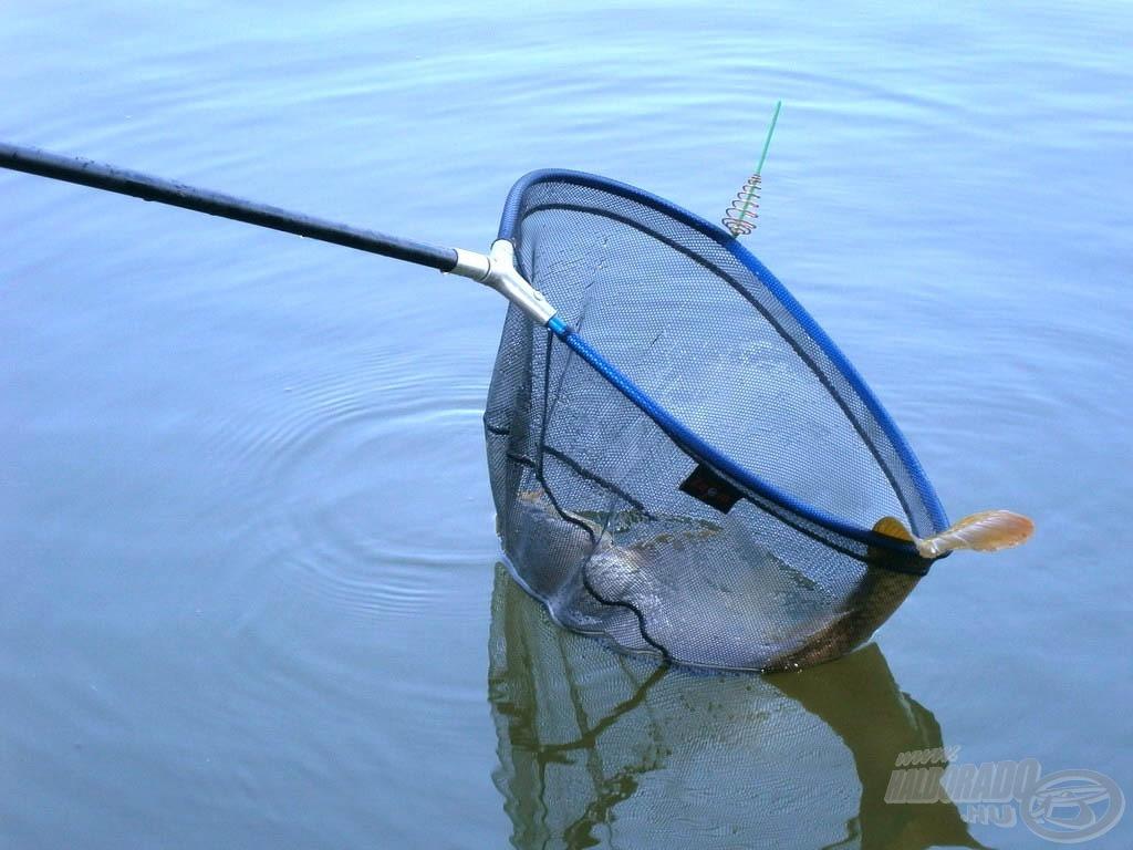 A bedobást követően 15 percen belül már szákba terelhettem az első halat