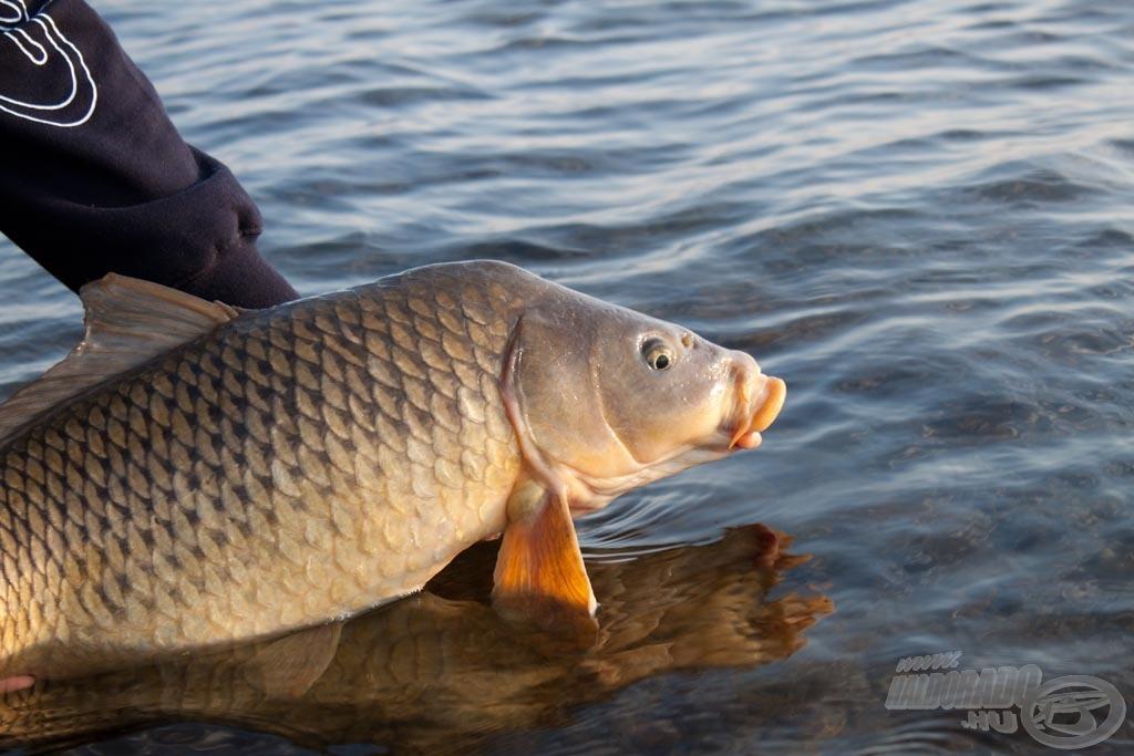 Természetesen minden hal a legkíméletesebb bánásmód mellett azonnal visszanyerte szabadságát