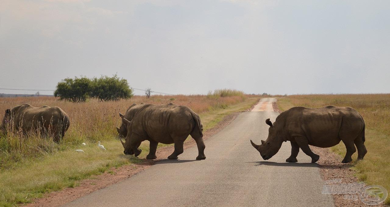 Hihetetlen, mennyire közel van a természet Afrikában. Bár az is hozzátartozik ehhez, hogy nagyon sok víztározó körül nemzeti parkok találhatóak, ahol az állatok kiemelt védelmet élveznek