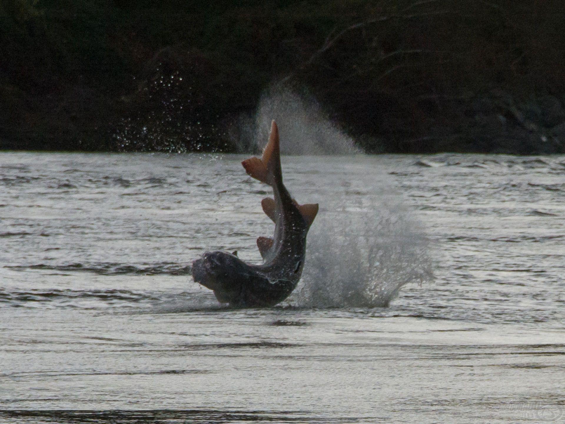 233 cm a hal hossza, és kiugrik a levegőbe