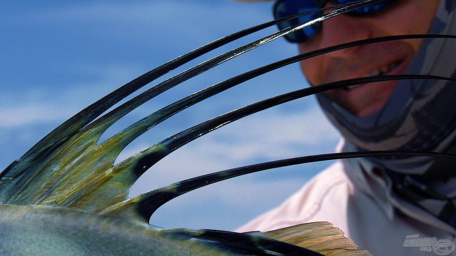 Ezek a csodás hátúszók teszik különlegessé ezt a halat