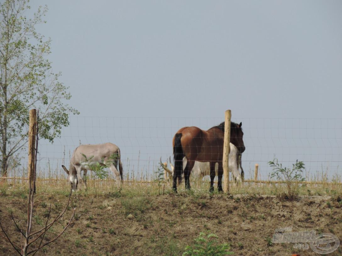 Gyönyörű lovak, a csacsi és a szürke marha látványa nyújtotta az utolsó képet
