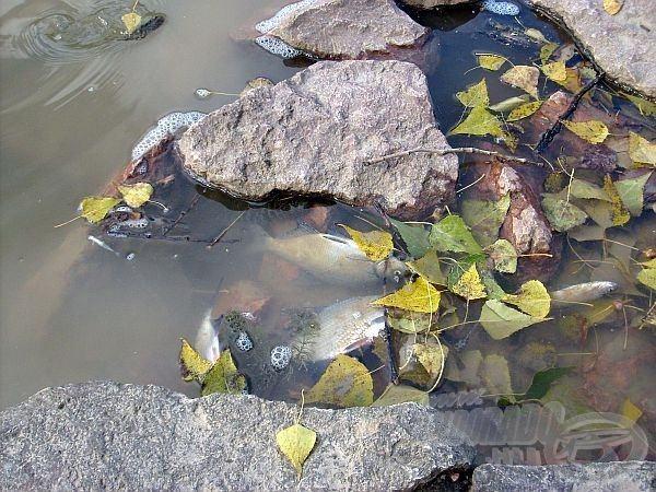Mindenhol elpusztult halak…